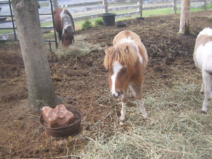 Miniature colt for sale Prince George British Columbia image 3