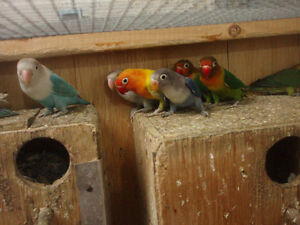 LOVEBIRD FISCHER AND BLACK MASK FOR SALE (some left)