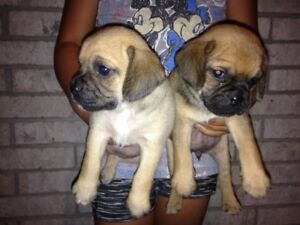 PUGGLE PUPPIES