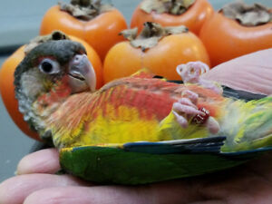 ***Super Friendly High Red Yellow Sided Conure Baby***