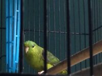 Green female liniolated parakeet!!