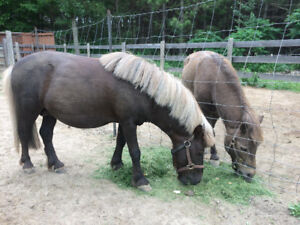 Miniature Horses For Sale Caledon