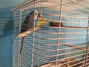 Budgies for sale NEED GONE