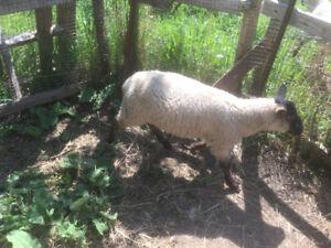 Ram lamb, intact, future breeder
