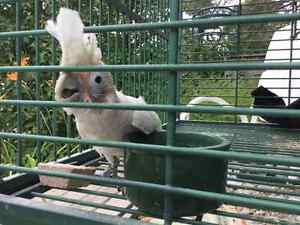 Cockatoo for sale... Make an offer