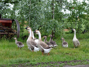 Super African Geese