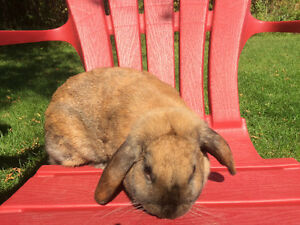 Female Holland Lop Rabbit