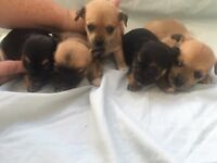 Jackrussel/chihuahua puppy's