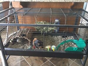 Two female Guinea pigs FREE