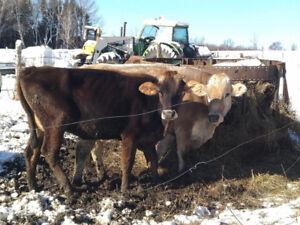 Taure et vache laitière Holstein et Suisse brune