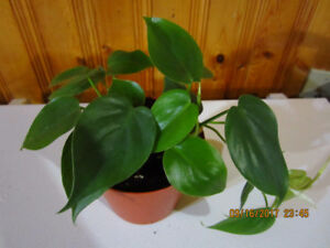 Pothos Plant - Low Light (Air Purify in the Home)