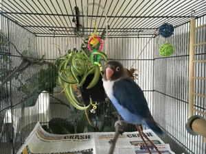 Blackmasked Cobalt Blue Lovebird with Cage & Accessories