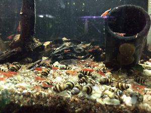 Escargots assassins (assassin snails) - Aquarium