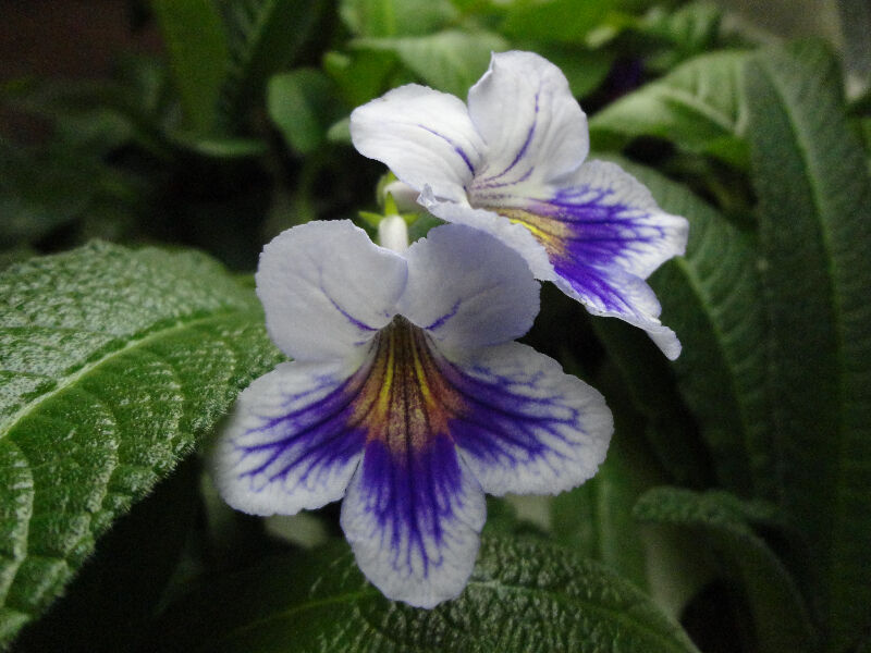 streptocarpus  cape primrose  house plants for sale
