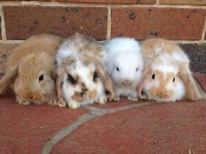 Mini Lop Rabbit+Hutch+Food+Accessories-PH 0 Blacktown Blacktown Area Preview