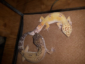 leopard gecko male and female