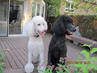 Lost two poodle dogs