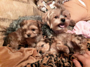 Adorable morkie poos