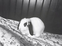 5 MONTH OLD HOLLAND LOP EAR AND ACCESSORIES.