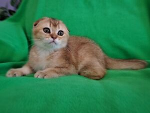 Scottish Fold Purebred Female