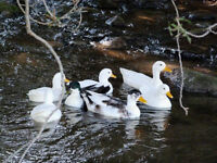 5 Call Ducks. White, Pied, and Snowy.