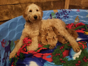 Doodle | Adopt Dogs & Puppies Locally in Toronto (GTA