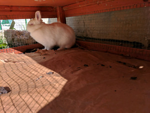 White Female bunny with big play cage for sale