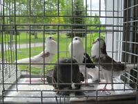 Pigeons FREE to a good home