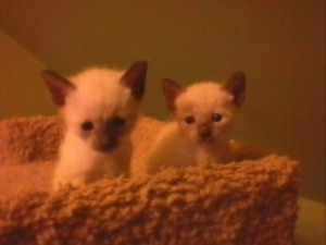 TCA Registered Siamese Kittens