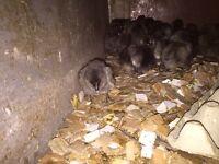Bluebell Female Chicks