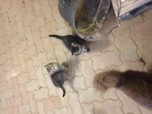 free kittens need a new home Edmonton Edmonton Area image 3