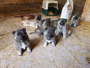 Reduced for quick sale Norwegian Elkhound Puppies