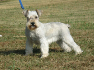 Schnauzer | Kijiji in Ontario  - Buy, Sell & Save with Canada's #1