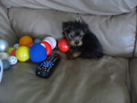 Yorkshire Terrier Puppies NEW PRICE !!!!