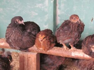 Mixed Breed Chickens