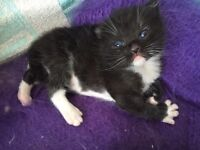 Ragdoll Cross Kittens (ONE KITTEN LEFT)