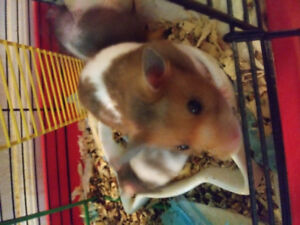 Cute Hamsters for sale!