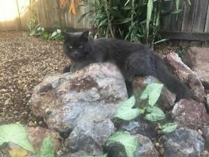 Male Cat Free To Good Home Regents Park Auburn Area Preview