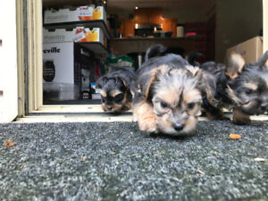 Yorkie- Morkie puppies from family home- only 3 left