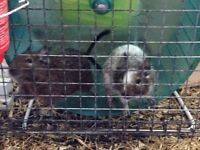 Degus and large cage £50