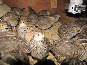 Brown Coturnix Quails