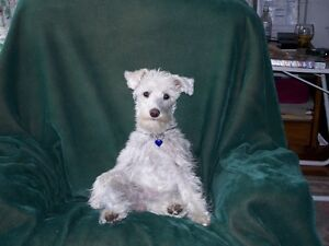 LOOKING TO BUY A SCHNAUZER PUPPY