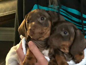 Two 8 week old female  Dachshund puppies for sale.