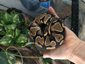 Het for piebald and clown ballpython and enclosure