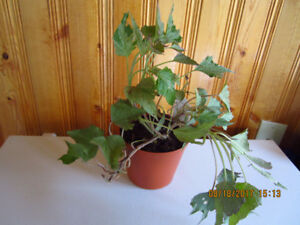 Sweet Potato Vines/Batalas Tricolor Plant