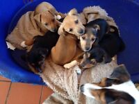 Jackrussell puppies for sale