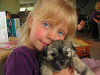 Maltipoo, Shih-Zue Mix Puppies For Sale