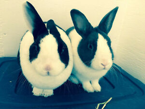 Bonded pair of Dutch Rabbits