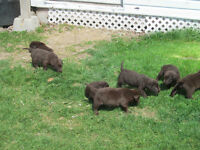 CKC Reg. Chocolate Lab Pups For Sale