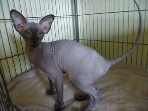 HAIRLESS PETERBALD BLACK KITTEN (1)